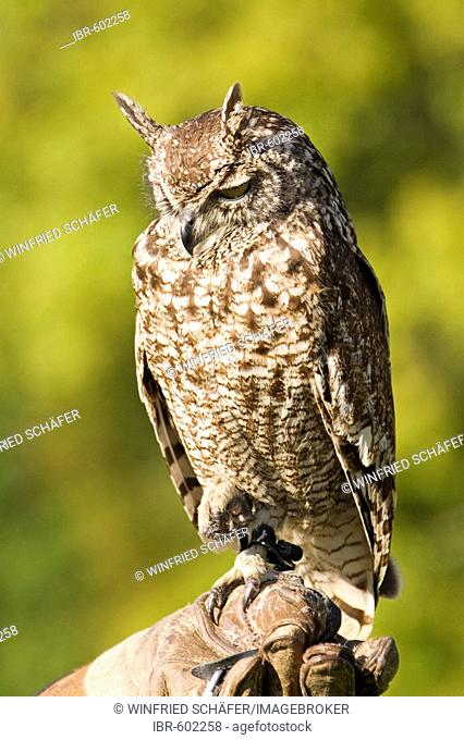 Spotted Eagle-Owl (Bubo africanus), portrait, Eagle- and Wolf Park in Gerolstein, Vulkaneifel, Germany, Europe