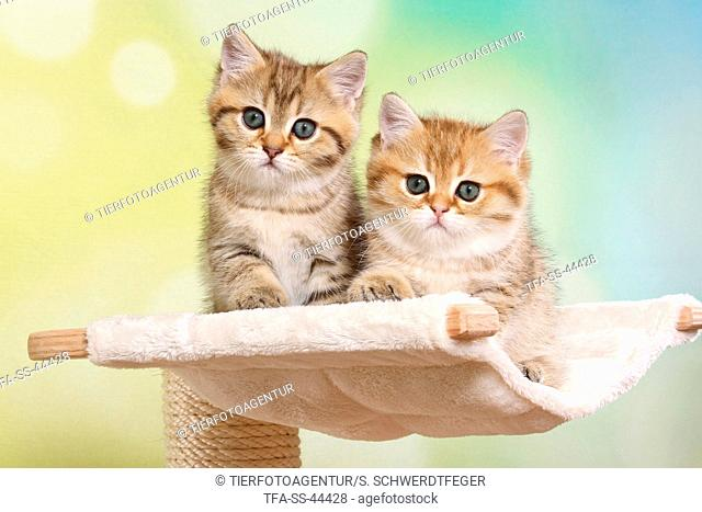2 British Shorthair Kitten