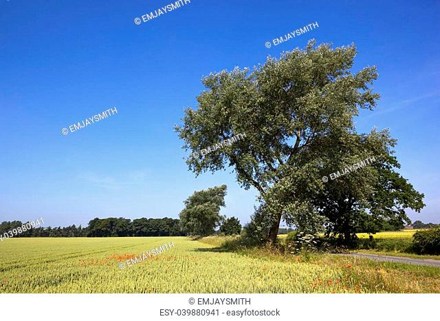 a mature white poplar tree by a country roadside with wheat fields woodlands and poppies under a blue sky in summer