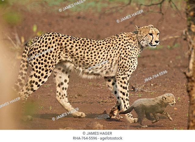 Cheetah (Acinonyx jubatus) mother and cub, Kruger National Park, South Africa, Africa