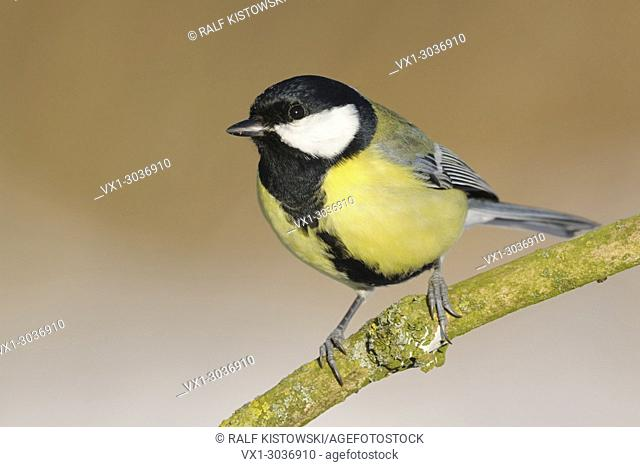 Great Tit ( Parus major ), typical garden bird, common, perched on a branch, nice side view, perfect light, wildlife, Europe