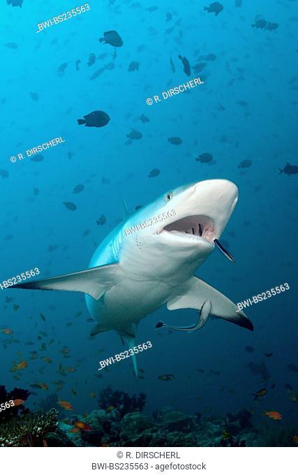 gray reef shark (Carcharhinus amblyrhynchos, Carcharhinus wheeleri), with Cleaner Wrasse, Labroides dimidiatus, Maldives, North Ari Atoll, Hafsaa Thila