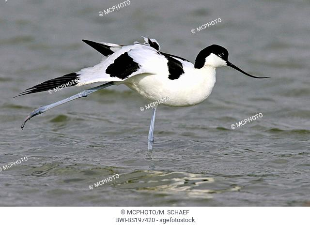 pied avocet (Recurvirostra avosetta), standing in shallow water, stretching a leg, Netherlands, Texel