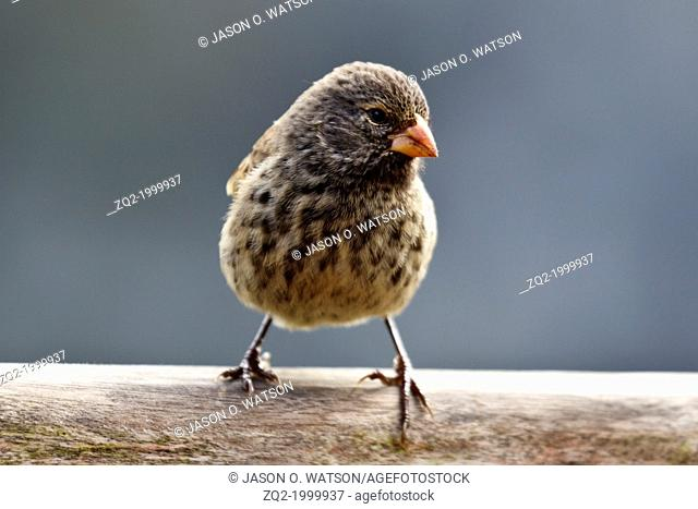 Female Small Ground-Finch (Geospiza fuliginosa), Galapagos Islands National Park, Santa Cruz Island, Galapagos, Ecuador