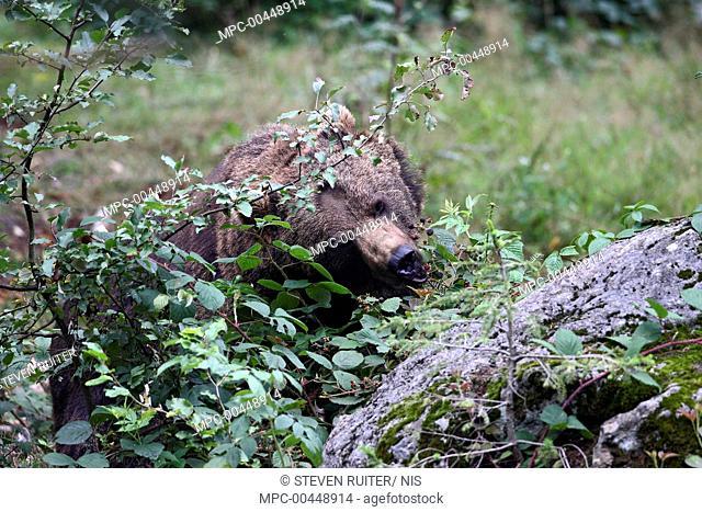 Brown Bear (Ursus arctos) feeding on Shrubby Blackberry (Rubus fruticosus), Bohemian Forest, Czech Republic