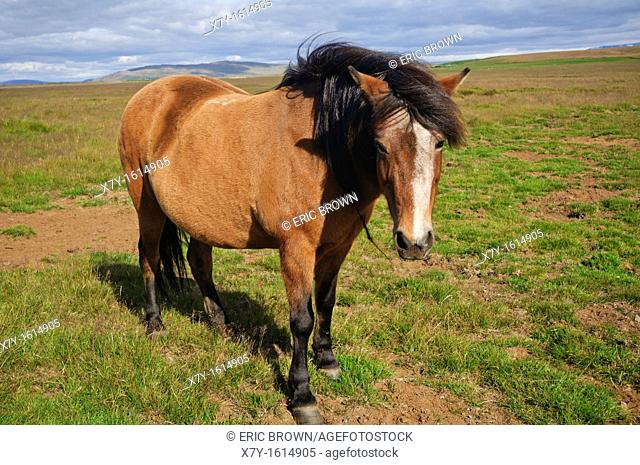 A horse in the country-side, Iceland
