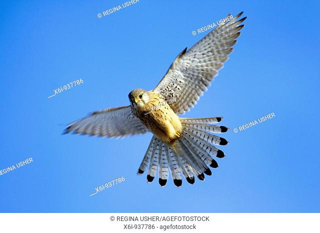 European Kestrel (Falco tinnunculus), male hovering in flight
