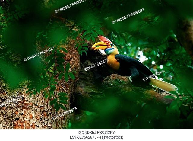 Rare exotic Knobbed Hornbill, Rhyticeros cassidix, from Sulawesi