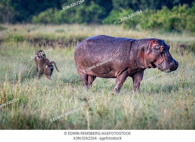 A Common hippopotamus (Hippopotamus amphibius) walking in the grass in Maasai Mara National Reserve, Kenya