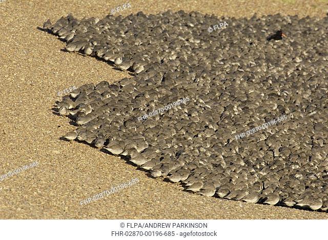 Knot Calidris canutus flock, mass roosting on shingle bank at high tide, The Wash, Norfolk, England, november