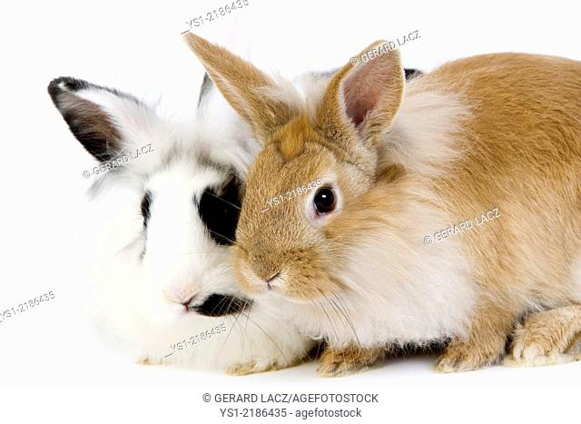 Red with Black and White Dwarf Rabbit against White Background