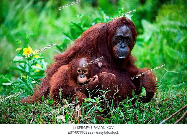 Female the orangutan with the kid on a grass