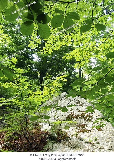Beech forest (Fagus sylvatica) at Riera de les Truites stream site, Arbucies village countryside. Montseny Natural Park. Barcelona province, Catalonia, Spain