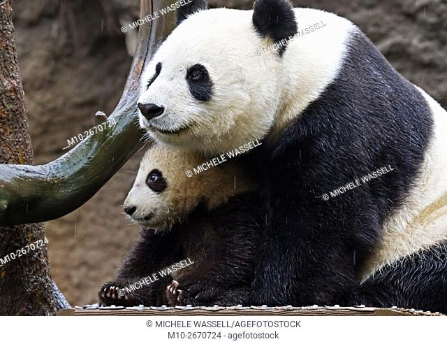 Giant Panda cub and its mother sitting close together in the rain in North America, USA