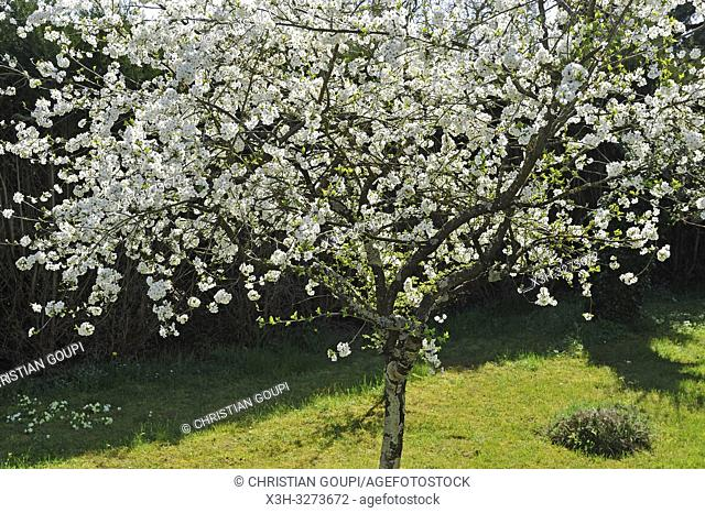 blossoming cherry tree, Eure-et-Loir department, Centre-Val de Loire region, France, Europe