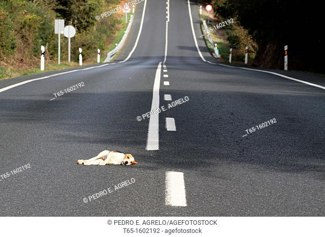 Beagle Dog hit and injured by a car on the road N-547 which connects the city of Santiago de Compostela to Lugo