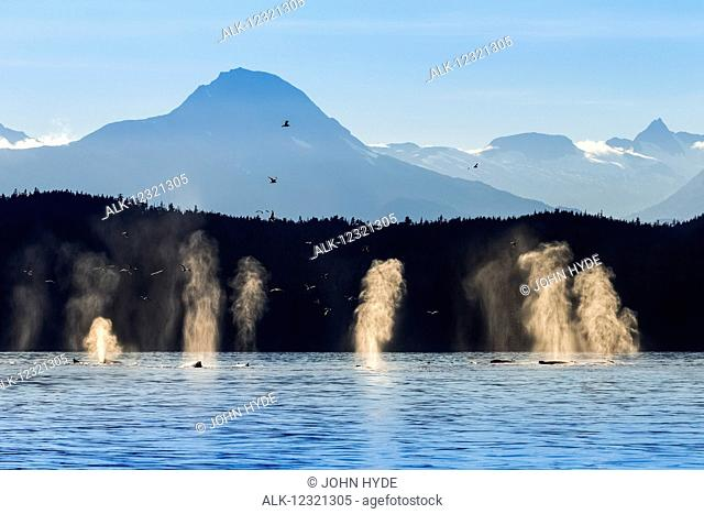 Humpback whale pod surfaces near Shelter Island, Inside Passage, Southeast Alaska, USA