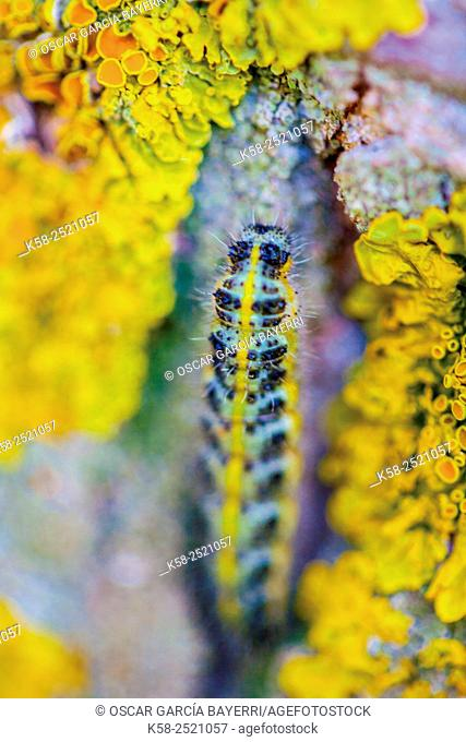 Caterpillar black and yellow climbing tree trunk
