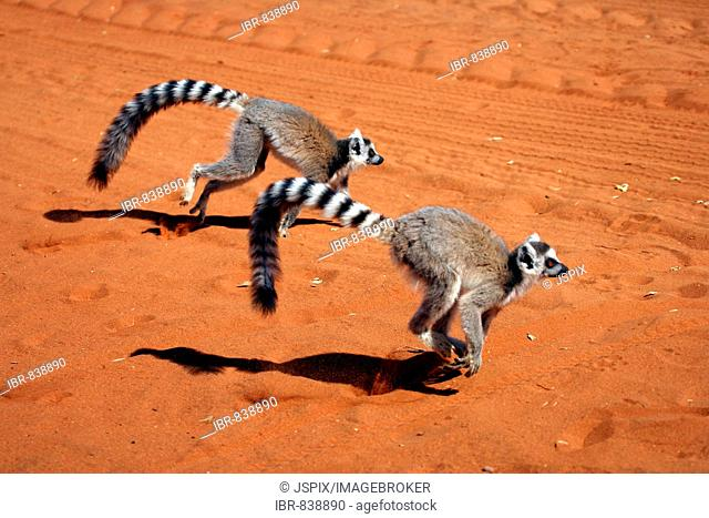 Ring-tailed Lemurs (Lemur catta), adult, running, Berenty Game Reserve, Madagascar, Africa