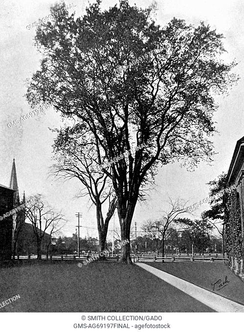 A photograph of the Class Day Tree at Harvard University, the tree was an American elm that the men of the graduating class would climb on class day in order to...
