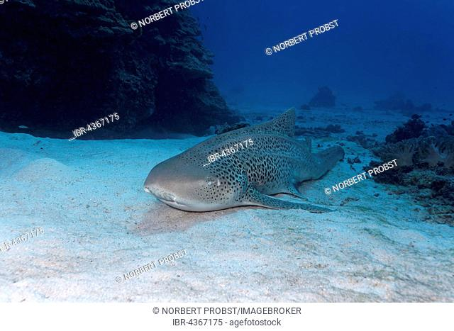 Leopard shark (Stegostoma fasciatum) lies on sand, Great Barrier Reef, Queensland, Cairns, Pacific Ocean, Australia
