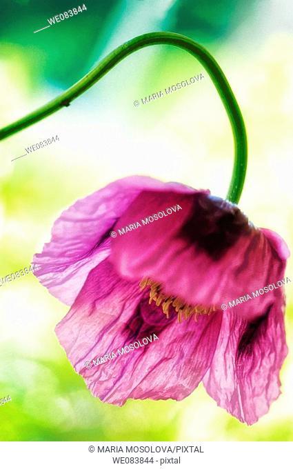 Poppy Flower. Papaver somniferum