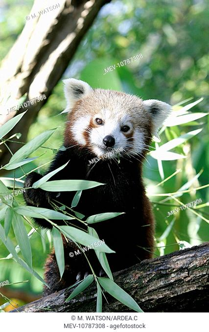 Red / Lesser PANDA / Red cat-bear (Ailurus fulgens)