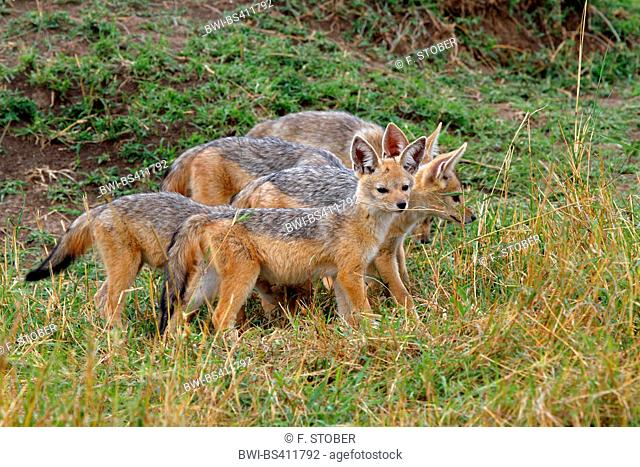 black-backed jackal (Canis mesomelas), cubs, Kenya, Masai Mara National Park