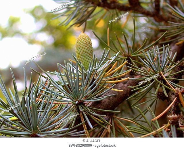 Blue cedar (Cedrus atlantica 'Glauca', Cedrus atlantica Glauca), branch with male cone in bud