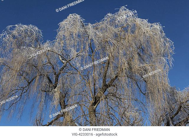 Weeping willow trees encased in thick ice glisten in the sunlight after an ice storm in Markham, Ontario, Canada