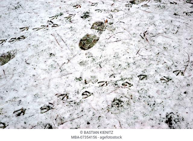 Shoe prints as well as footprints of birds on the thin snow cover of a meadow