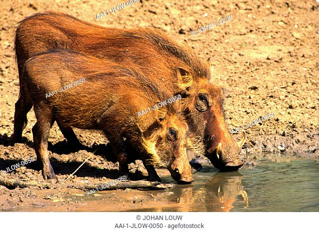 Warthogs, Pilanesberg Game Reserve, North West Province, South Africa