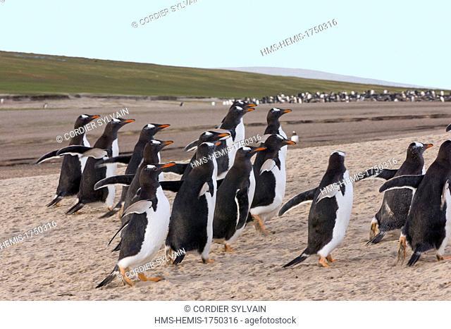 Falkland Islands, Saunders island, Gentoo Penguin (Pygoscelis papua papua), on the beach