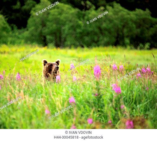 Brown bear, Ursus arctos, Opala river, Kamchatka Peninsula, Russia