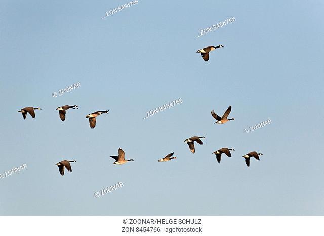 Kanadagans ist der am haeufigsten bejagte Wasservogel Nordamerikas / Canada Geese are the most commonly hunted waterfowl in North America - (Canada Goose) /...