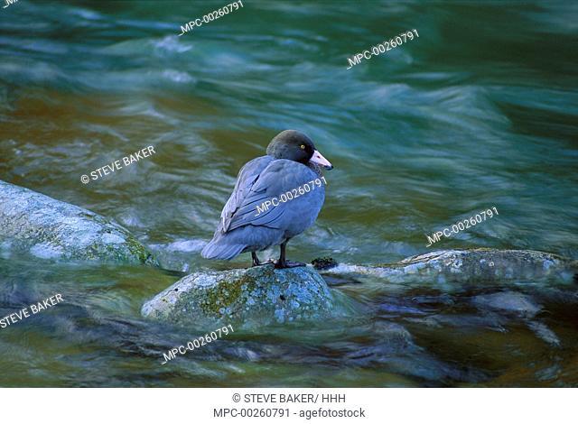 Blue Duck (Hymenolaimus malacorhynchos) standing on rock in stream, endangered, Kahurangi National Park, New Zealand