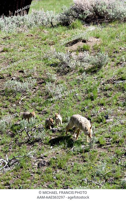 Coyote (Canis latrans), adult female with young pups near den site during spring Yellowstone National Park Wyoming