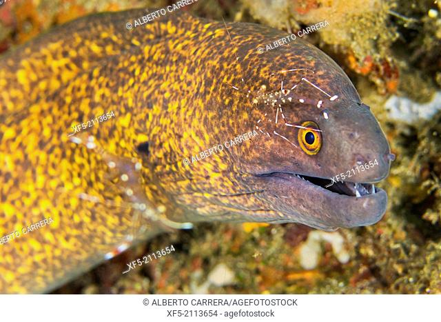 Giant Moray with Cleaner Shrimp, Moray Eel, Gymnothorax javanicus, Commensal Shrimp, Palaemonidae, Lembeh, North Sulawesi, Indonesia, Asia