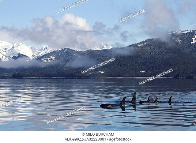 Killer Whale pod showing dorsal fins on glassy calm surface of Prince William Sound with Chugach Mountains in background, Southcentral Alaska, Spring