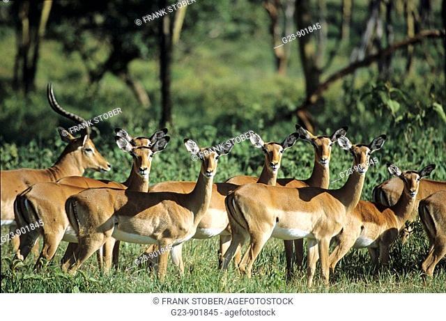 Impalas, Massai Mara, Kenya