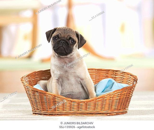 pug puppy - sitting in basket restrictions: Tierratgeber-Bücher / animal guidebooks