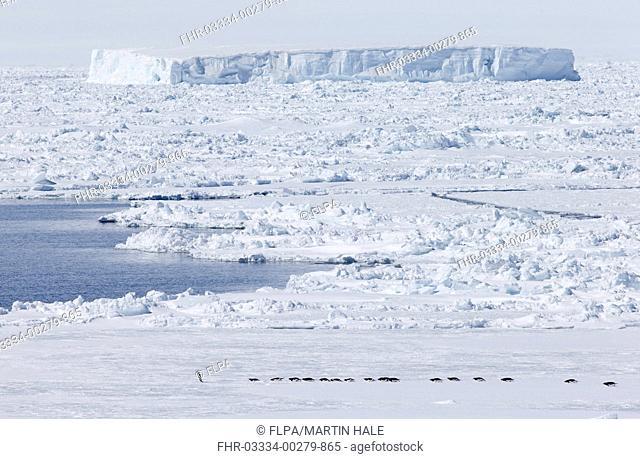 Adelie Penguin (Pygoscelis adeliae) adults, group tobogganing over ice choked coastal habitat en route to open water, Weddell Sea, Antarctic Peninsula