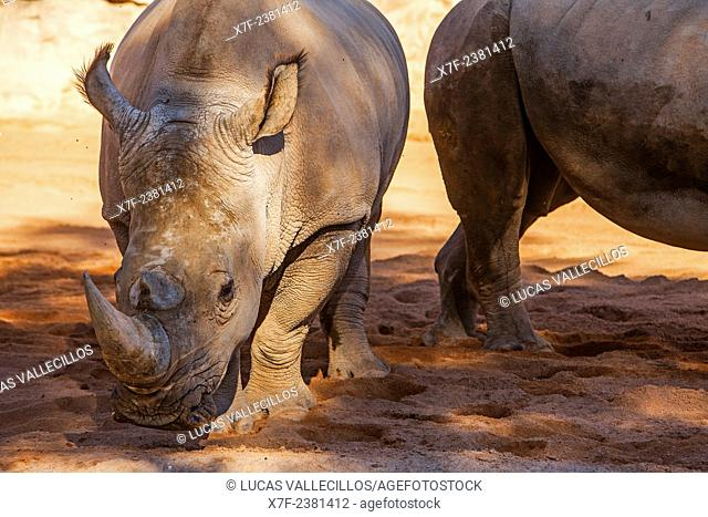 White rhino, Ceratotherium Simum. Bioparc. Valencia, Spain