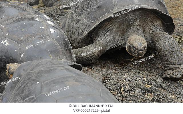 Galapagos Islands Ecuador fabulous Giant Tortoises with shells on Santa Cruz Highlands South America