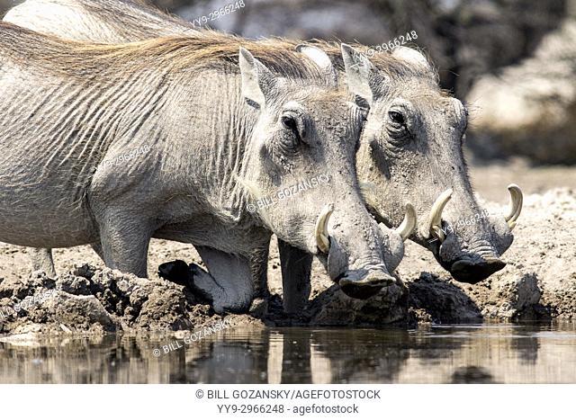 Common warthogs (Phacochoerus africanus) drinking at Onkolo Hide, Onguma Game Reserve, Namibia, Africa