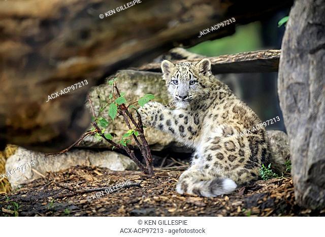 Snow Leopard cub, Panthera uncia, Assiniboine Park Zoo, Winnipeg, Manitoba, Canada