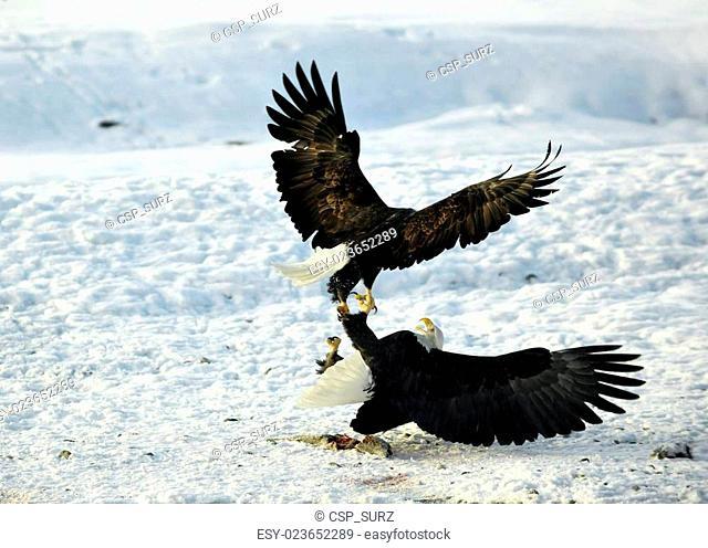 Eagles fight . Two Bald Eagles (Haliaeetus leucocephalus washingtoniensis )