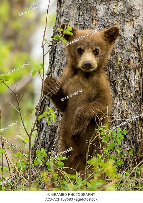 Black Bear cub, Ursus americanus, Waterton National Park, Alberta, Canada