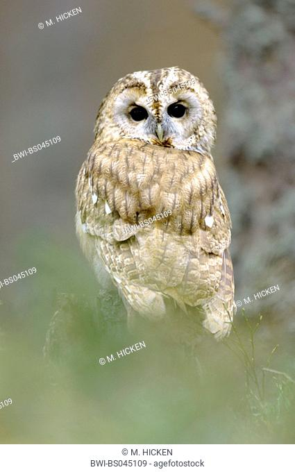 Eurasian tawny owl (Strix aluco), sitting on a branch, United Kingdom, Scotland, Cairngorms National Park