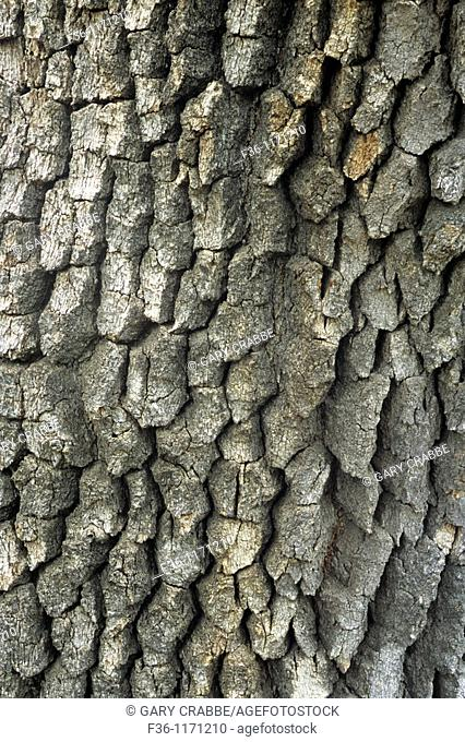 Oak tree bark at Zaca Mesa Winery, along Foxen Canyon Road, Santa Barbara County, California